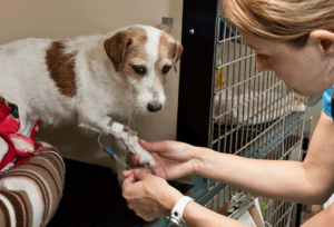 Veterinarian caring for patient